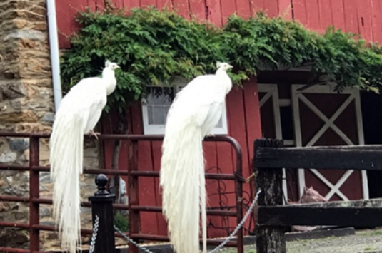Loudoun Peacocks at Shiloh Manor Farm